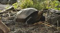 Riesen-Schildkröte ist doch nicht ausgestorben